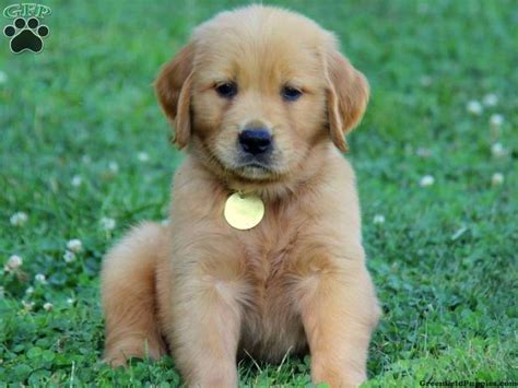 honeybrook golden retrievers 60 best images about things i on puggle puppies puppys and golden