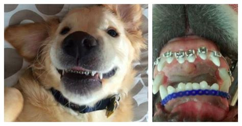 golden retriever with braces meet wesley the with braces
