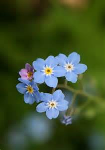 Forget Me Not Flower Meaning - dosya forget me not jpg vikipedi