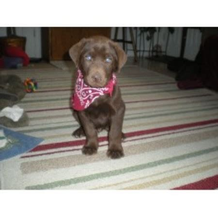 chocolate lab puppies for adoption in nc chocolate lab puppies for sale labrador retriever breeder breeds picture