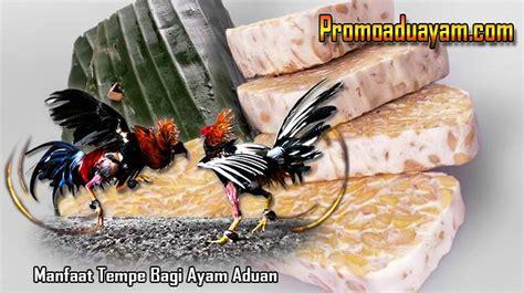 Kalsium Ayam Petarung khasiat tempe bagi ayam aduan petarung yang wajib kamu tahu