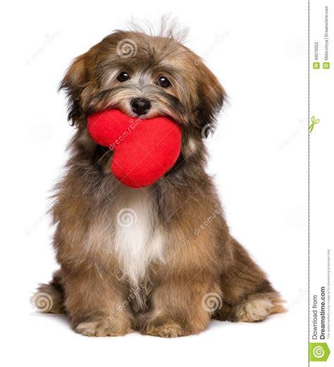 havanese prezzo il cucciolo di havanese dell amante sta tenendo un cuore rosso nella sua bocca