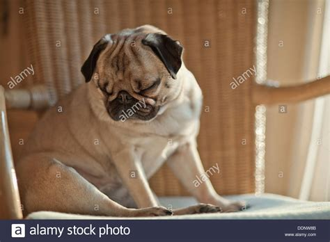 pug in chair pug sitting in a chair stock photo royalty free image 60102459 alamy