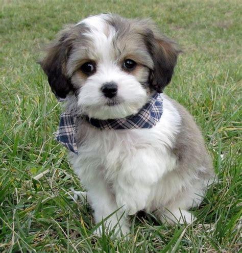 cavachon puppies for sale in 76 best cavachon puppies for sale images on cavachon puppies beautiful