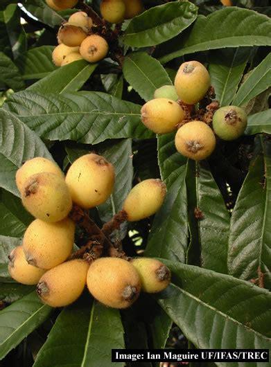 japanese plum tree fruit tropical fruit trees akee all spice ambarella annona
