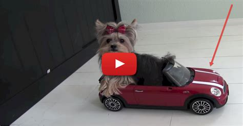 yorkie misa tiny yorkie misa minnie performs amazing tricks and has a sweet ride i my