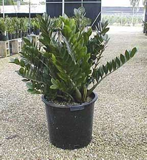 zz plant care growing zamioculcas zamiifolia   guide