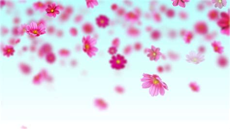 background flowers pink cosmos flowers free motion background loop