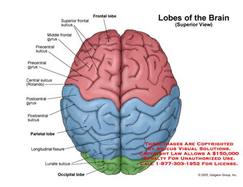 brain diagram top view lobes of the brain superior view
