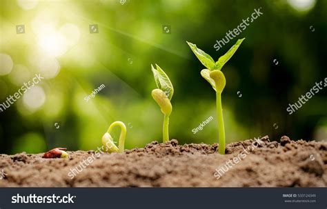 Sprout 1 7 End germinating seed sprout nut agriculture plant stock photo 533124349