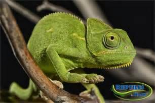 veiled chameleon care sheet reptiles by mack