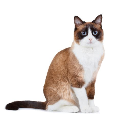 snow shoe snowshoe cat breed information pictures characteristics