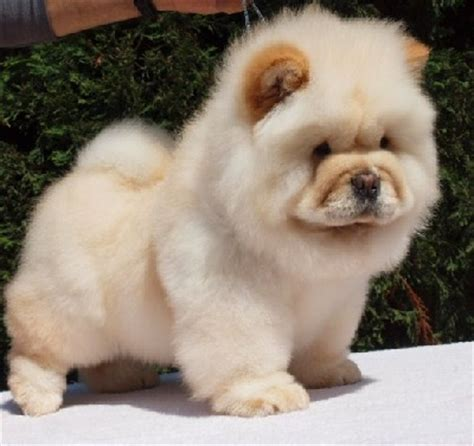 panda looking pomeranian for sale pomeranian panda breeds picture