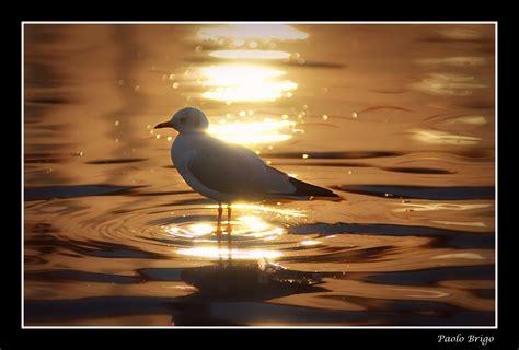 gabbiano uccelli gabbiano al tramonto foto immagini animali uccelli