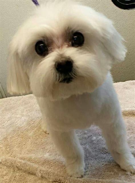 maltese puppy cut maltese puppy cut animal babies