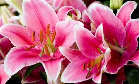 il fiore giglio fiori festa della donna leitv
