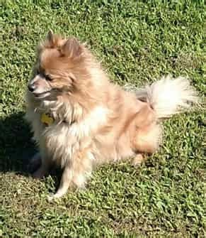 pomeranian ears pomeranian ears problems care infections cleaning