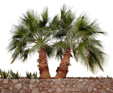 how to take care of palm trees south maui gardens kihei nearsay