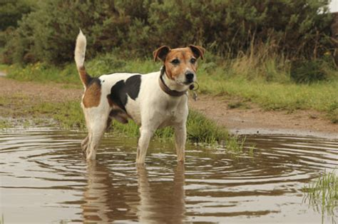 lepto in dogs leptospirosis in dogs a of a bacterial infection