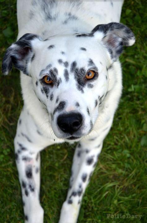 dalmatian mix puppies best 25 pitbull mix breeds ideas on
