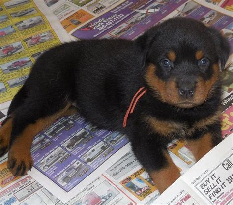 rottweiler for sale michigan rottweiler puppies for sale in michigan zoe fans baby animals