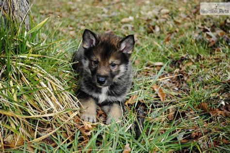 wolf puppies for sale in nc wolf hybrid puppy for sale near carolina f5db40c5 6331