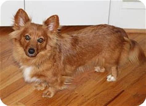 pomeranian rescue atlanta atlanta ga dachshund pomeranian mix meet lou a for adoption