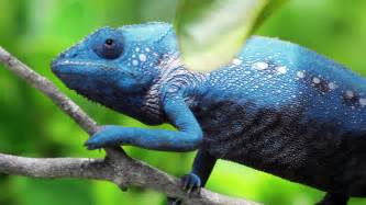 animals that change color chameleon changing color