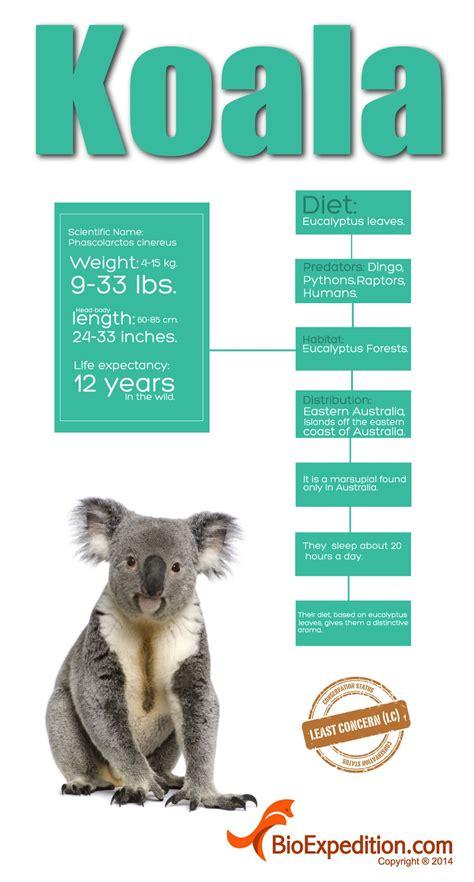 facts and information koala infographic koala facts and information