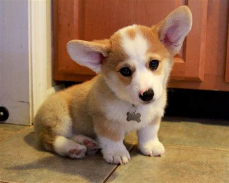 how much is a corgi puppy corgi puppy wallpaper hvgj litle pups