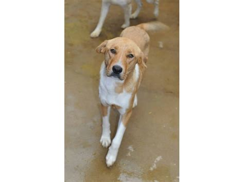 foster homes for dogs heartworm positive dogs need foster homes geneva il patch