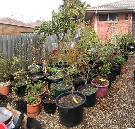 Small Fruit Trees For Pots - forum fruit trees in pots