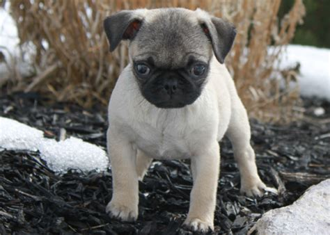 pugs for sale in denver pug puppy for sale pug breeder pug puppy pug for sale pug pug puppy bed