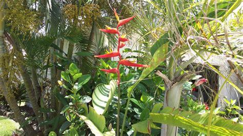 tropical plants florida heliconia plagiotropa exotica tropicals tropical