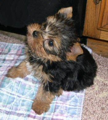 yorkie puppies for sale in bc 1318 best images about yorkie on terrier doggies and