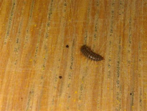 tiny caterpillars in house image gallery larvae around the house