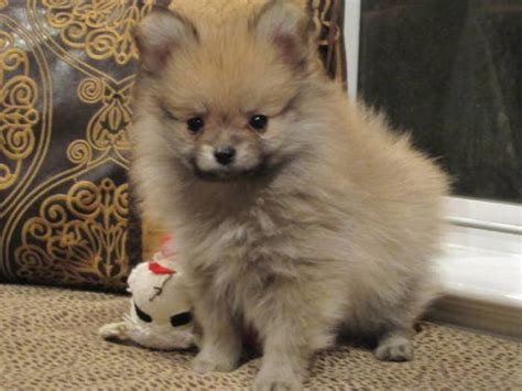 mini husky pomeranian mix for sale the gallery for gt pomeranian husky mix grown
