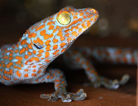 aids cure rumours short lived tokay geckos mainly traded for traditional medicine finds new