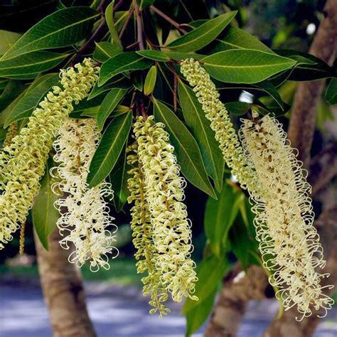 australian seed buckinghamia celsissima