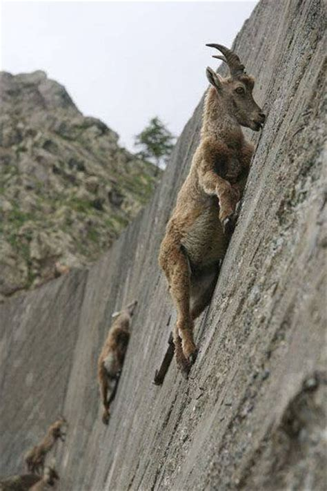Archangels and Demons: Mountain Climbing Goats Pics