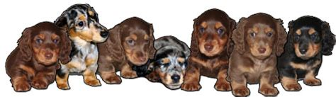 haired dachshund puppies for sale miniature haired dachshund puppies for sale fenellafleur dachshunds