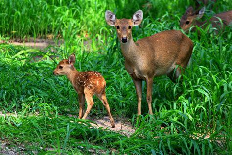 Figureminiaturpajanganbonekapatung Leich Rusa Tailed Doe file samber deer with fawn jpg wikimedia commons
