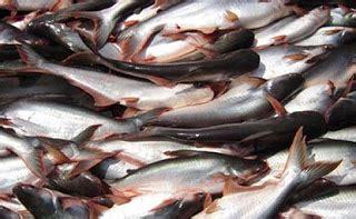 Pakan Ikan Patin Hias cara budidaya ikan patin kolam terpal mudah dan hemat biaya