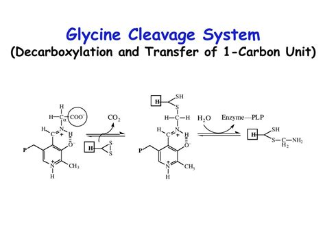 h protein glycine cleavage system ppt metabolic breakdown of individual amino acids