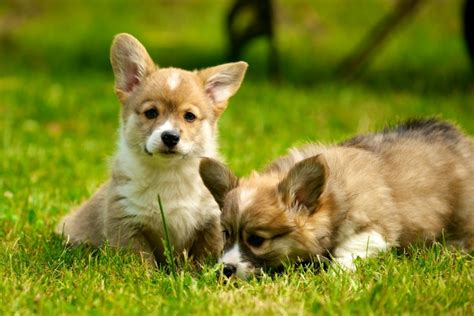 how much do corgi puppies cost how much do corgis cost corgi guide