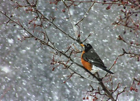 slideshow what do robins eat in the wintertime