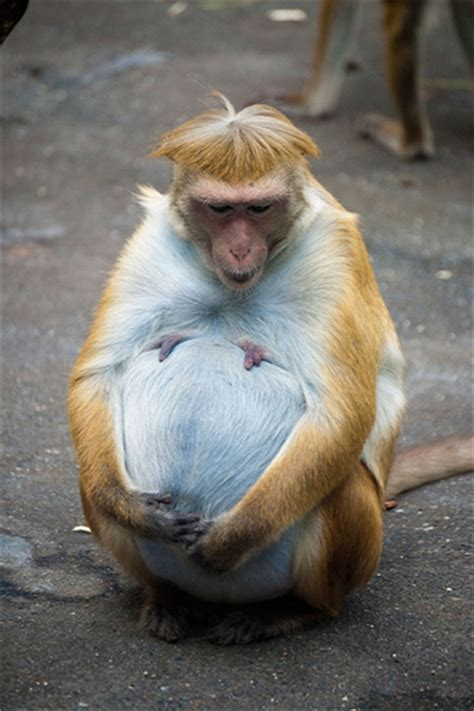 pregnant toque macaque flickr photo sharing