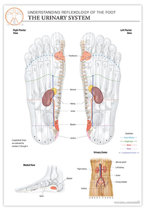 Color Out Of Foot Detox For Urinary Tract Infection by Reflexology Foot Chart Urinary System The