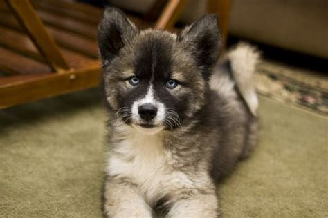 agouti husky puppy siberian husky puppy beautiful and dogs siberian huskies