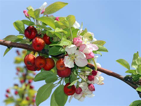 imagenes de flores que dan frutos rama con flores de manzano y frutos del a 241 o pasado flickr
